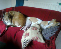 Greyhounds asleep