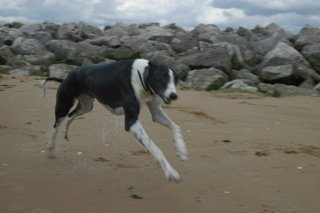 Greyhound on beach