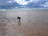 Greyhound running along Allonby Beach