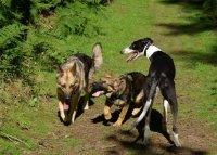 German Shepherds and Greyhound playing
