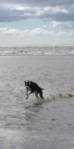 Greyhound running in the sea