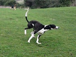 Greyhound playing in field