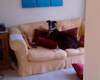 Black and white greyhound relaxing