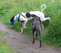 Greyhounds playing