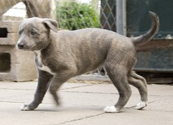 Blue brindle Greyhound puppy