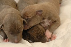 Three Greyhound puppies
