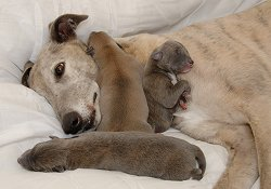 Greyhound with pups