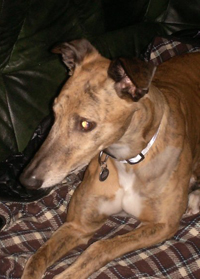 Thunder - brindle greyhound