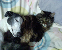 Scottie the Greyhound with cat