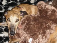 Greyhound with teddy