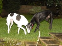 two greyhounds in the garden