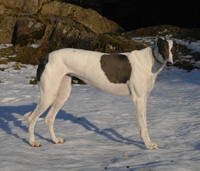 White and blue greyhound