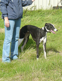 Black and wihite greyhound
