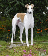 White and fawn greyhound