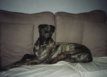 Penny, blue brindle Greyhound