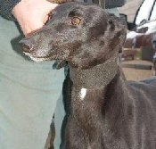 Indi at Greyhound Rescue in Selby