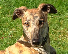 Kelly, red brindle greyhound