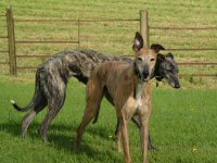 Penny and Bobby, blue and red brindle greyhounds