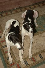 Jill and Jake, two black and white Greyhounds