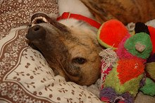 Sandy, a red brindle Greyhound