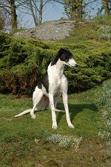 Jill, a black and white Greyhound
